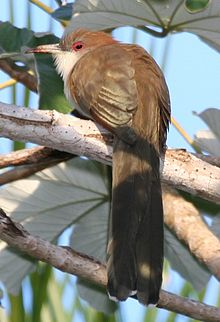 220px-Great_Lizard-cuckoo_(Coccyzus_merlini),_cropped