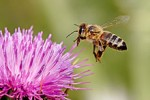 220px-Honeybee_landing_on_milkthistle02