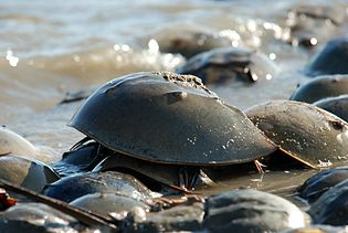 Horseshoe crabs, evolutionary success!