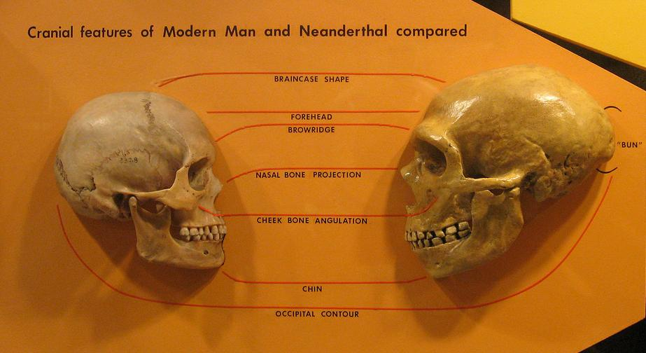 """Sapiens neanderthal comparison"" by hairymuseummatt - <a href='http://www.flickr.com/photos/hmnh/3033749380/.'  title='http://www.flickr.com/photos/hmnh/3033749380/.' >http://www.flickr.com/photos/hmnh/3033749380/.</a> Licensed under CC BY-SA 2.0 via Wikimedia Commons - <a href='https://commons.wikimedia.org/wiki/File:Sapiens_neanderthal_comparison.jpg#/media/File:Sapiens_neanderthal_comparison.jpg'  title='https://commons.wikimedia.org/wiki/File:Sapiens_neanderthal_comparison.jpg#/media/File:Sapiens_neanderthal_comparison.jpg' >https://commons.wikimedia.org/wiki/File:Sapiens_neanderthal_comparison.jpg#/media/File:Sapiens_neanderthal_comparison.jpg</a>"